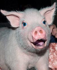 BETTY BLUE EYES, la cerdita de ojos azules que enamora... a casi todos!